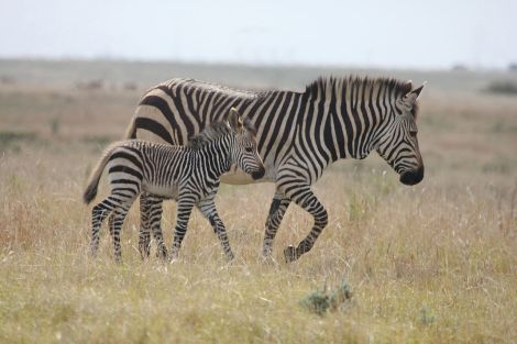 1280px-cape_mountain_zebra_and_young