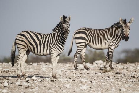 equus_quagga_burchellii_26_equus_zebra_hartmannae_-_etosha_2015