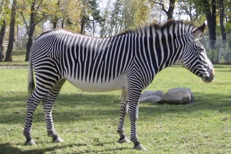 grevys_zebra_1